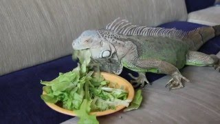 Игуана в домашних условиях - питание