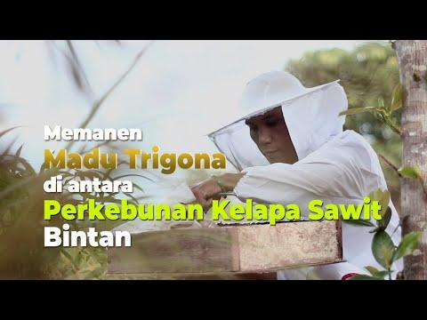 Memanen Madu Trigona Di Antara Perkebunan Kelapa Sawit Bintan
