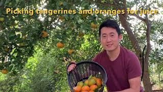 Picking Tangerines and oranges in my yard. Making fresh juice.