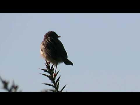 Fuinhas-dos-juncos (Cisticola juncidis) na Quinta do Pisão