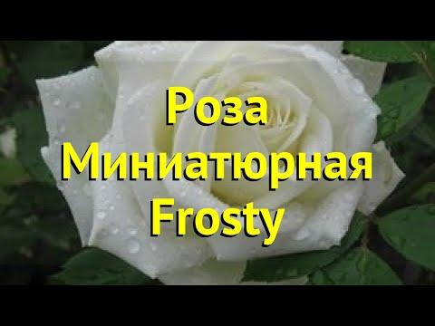 Роза миниатюрная Фрости. Краткий обзор, описание характеристик, где купить саженцы Frosty