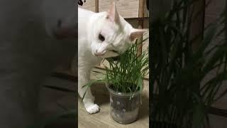 고양이 풀 뜯어먹는 소리