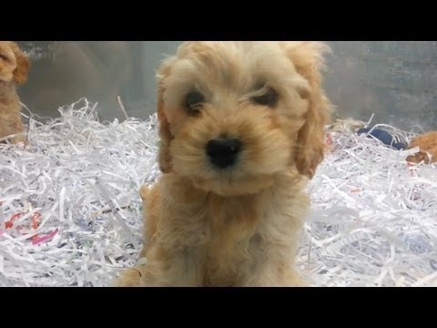 Playing Labradoodle? Puppies That Are Very Cute!