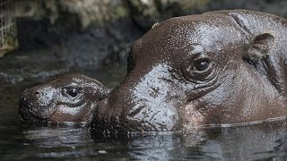 Playful Pygmy Hippo Swimming Lessons