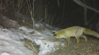 Конфликт лисицы и барсука из-за убежища