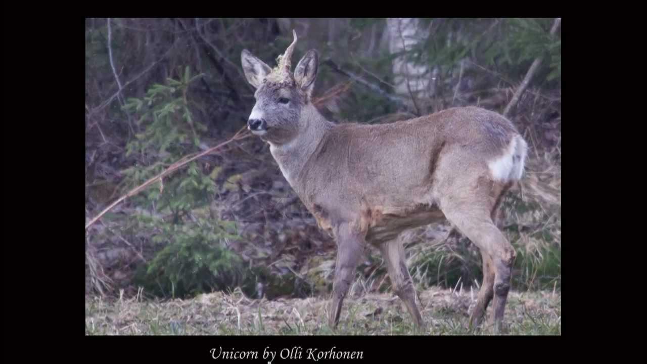 Single horned deer