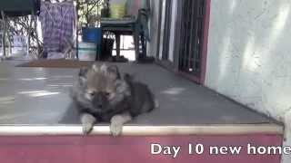 Wolf Sable Pomeranian Puppy, Introduction To Older Dog
