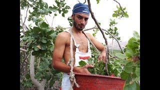 Sicilya'da fıstık hasadında çalıştım