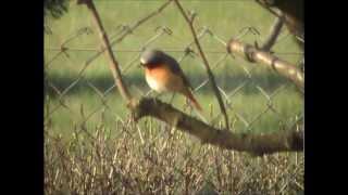 pleszka (Phoenicurus phoenicurus), Common Redstart