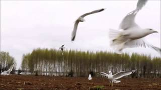 ❀ Sound Therapy - Sounds of seagulls 3 hours - amazing 240fps slo mo video