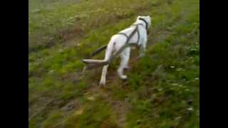 Dogo argentino - physical training