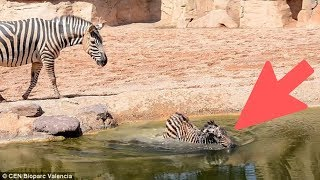 Mama Zebra's Answer To Two Men Trying To Save Her Baby Goes Viral