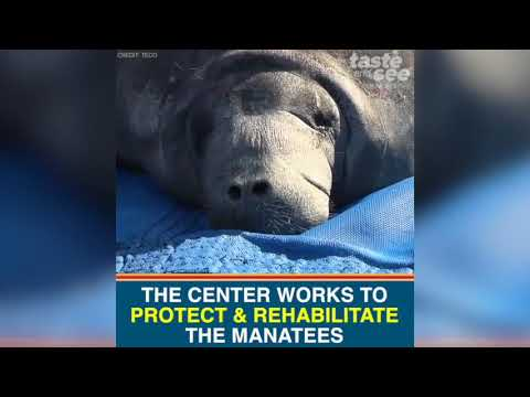 See hundreds of manatees flock to this Tampa Bay power plant | Taste and See Tampa Bay