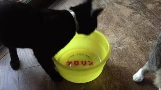 ケロリン桶が気になる猫 その1 20170731