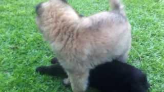 Groenendael belgian Shepherd meets tervueren shepherd partner.