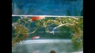 Sri Lanka Guppy Fish and hydrilla plant