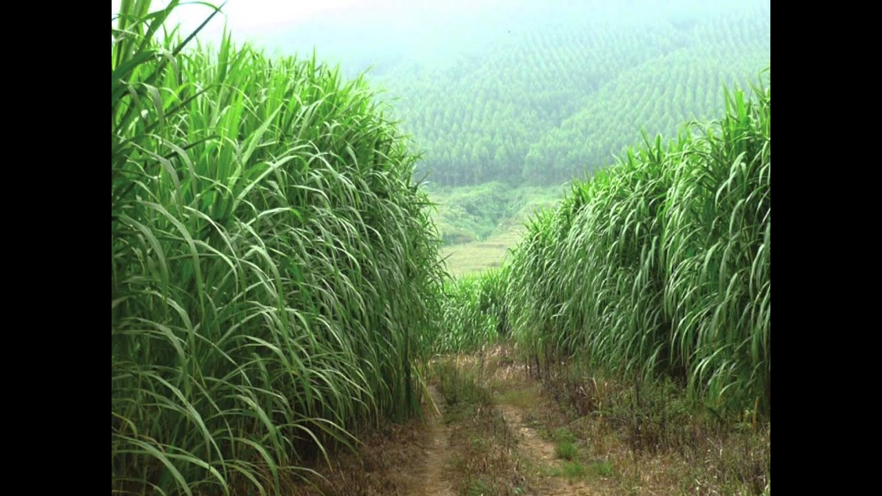 cbe fuel system - giant king grass