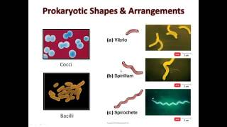 B221 C3 3 1 Bacterial Shapes and Arrangements