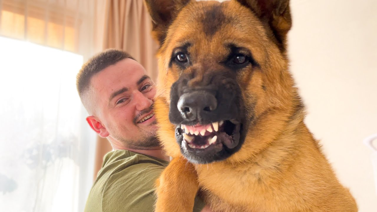 When another Dog wants attention from a German Shepherd Owner [Most Jealous Dog]
