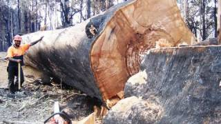 Bush Fires Victoria Australia Big Tree and Tree Felling Take Down by a 3120XP Husky Chainsaw