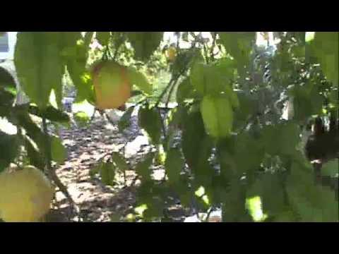 Fresh Ripe Organic Citrus Fruit Jackpot From Florida