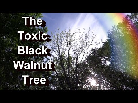 The Toxic Black Walnut Tree: Which Plants Die or Survive? My Personal Garden Examples