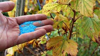 Опрыскайте в октябре 1 раз защиты хватает на целый год! Медный купорос осенью от болезней!