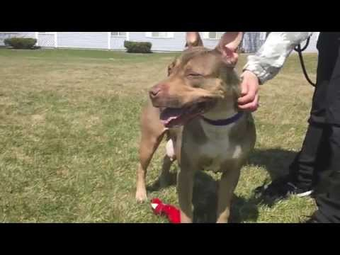 Bella, a Pit Bull Terrier/Doberman mix available for adoption at the Wisconsin Humane Society