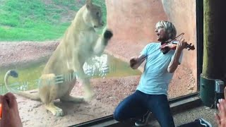 Lioness Jumps Toward Violinist Serenading Her