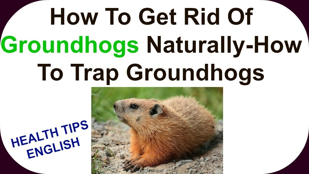 how to get rid of groundhogs naturally how to trap groundhogs