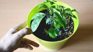 Как вырастить мандарин из косточки дома. Мой опыт #леснойпенек