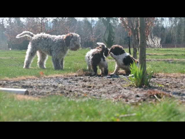 Lagotto puppies in the field