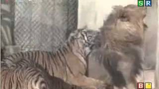 Download Video Tiger kills lion.mp4 MP3 3GP MP4