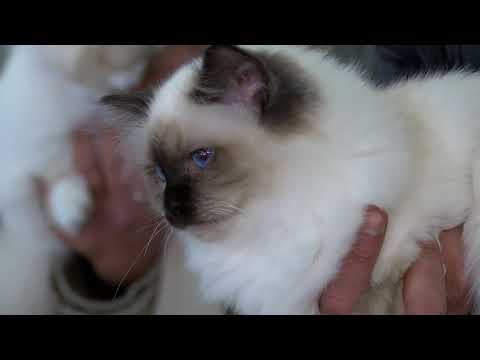 MFGC International Cat Show at Montekristo - May 2018 (Promo)