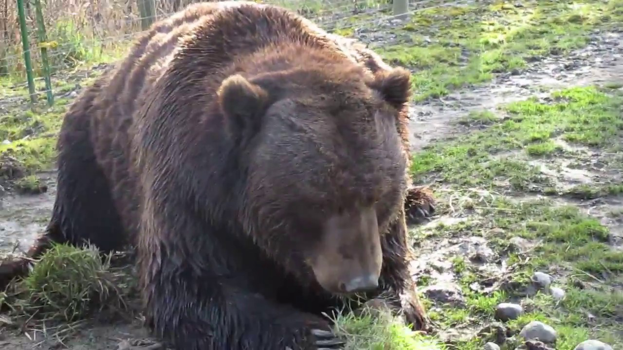 Great Big Kodiak Bear
