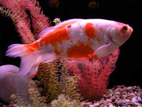 Миролюбивые аквариумные рыбки фото и названия
