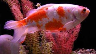 Золотые рыбки     Аквариумные рыбки  Фото рыбок