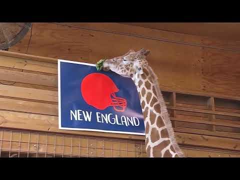 Download Youtube: April the giraffe picks  the Super Bowl winner