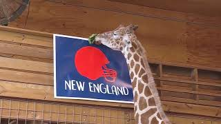 April the giraffe picks  the Super Bowl winner