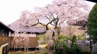 JG☆☆ 4K HDR 愛媛 無量寺のしだれ桜 Ehime,Sakura at Muryoji