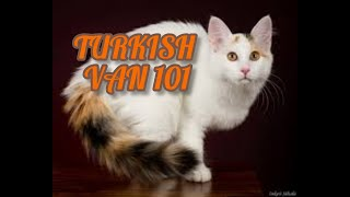 Turkish Van 101   Everything You Need To Know