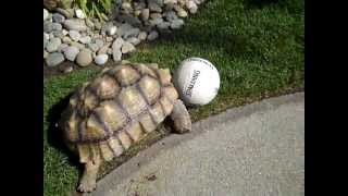 Yoshi the Sulcata Tortoise Plays and Chases Ball