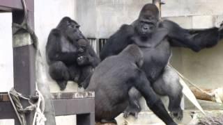 東山動植物園のニシローランドゴリラ。 今年6月に生まれたベビーのアニ...
