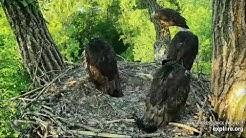Decorah Eagles 6-2-20, 6:53 am Mom brings a fish that fledges
