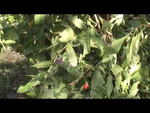 дереза обыкновенная или ягода Годжи уход и выращивание