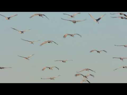 Sandhill Cranes At Jasper-Pulaski FWA   Indiana DNR