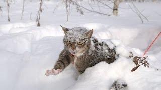 Кошки в снегу!Смешное и интересное видео про кошек!