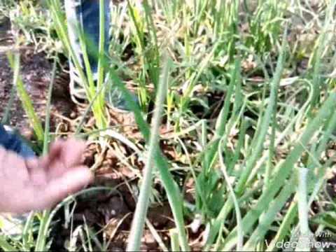 Organic  crop consultant Deshmukh 9158463444