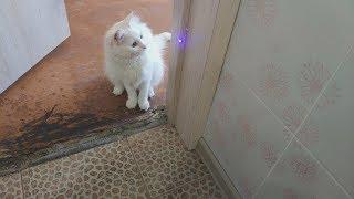 Кошка Alex aka Ангорская кошка с лазером
