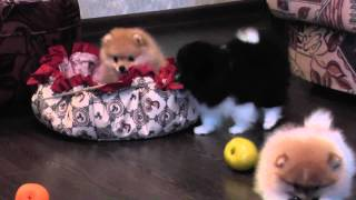 Pomeranian Puppies For Sale!